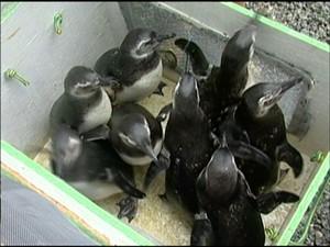 pinguins 1
