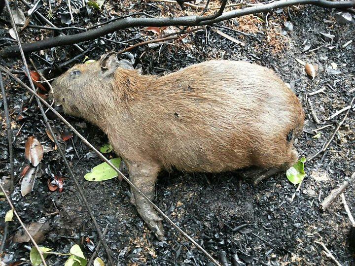 Essa capivara foi encontrada morta por causa do incêndio no PEPCV. FOTO: ANDERSON LUIZ KRUGER.