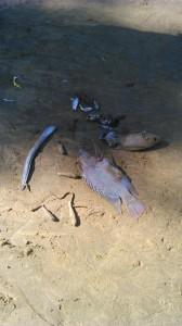 rio una peixes mortos