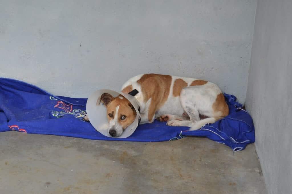Cães castrados para adoção em Guarapari e Alfredo Chaves.
