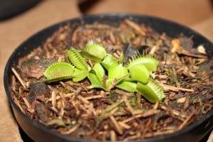 As plantas carnívoras exalam um odor que atrai insetos. Foto: João Thomazelli/Portal 27