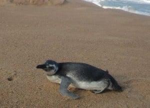 Pinguim 04
