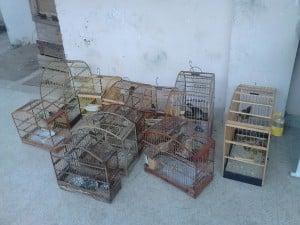 Pássaros silvestres apreendidos durante a operação.