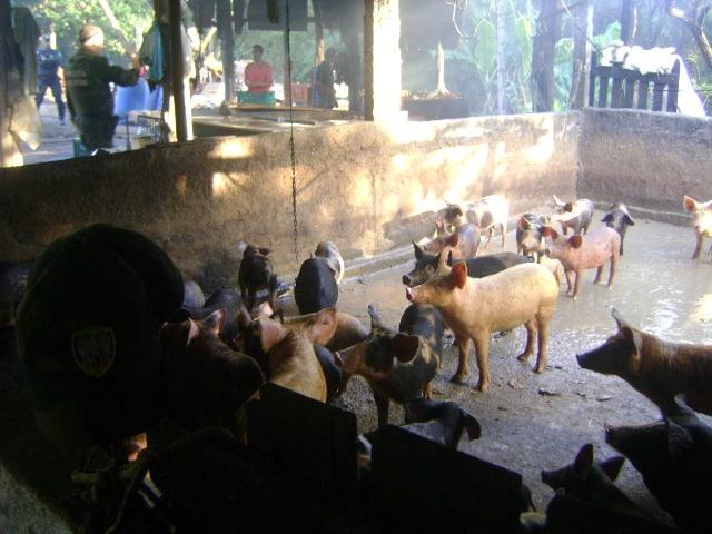 curral de porcos 02