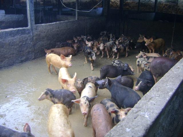 curral de porcos 03